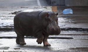 Video: hipopótamo de Pablo Escobar se escapó y paseó por todo un pueblo