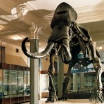 The fossil skeleton of a mammoth displayed in the Inner Mongolia Autonomous Region Museum.