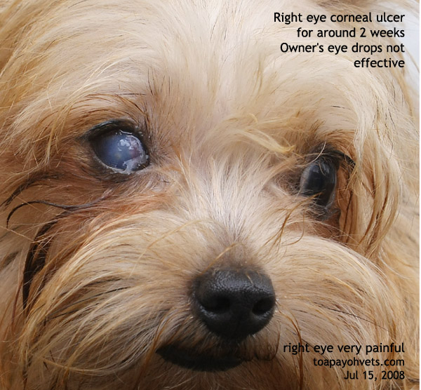 031001asingapore Veterinary Keratitis Eye Corneal Ulcer Silkie 3 Years Old Toa Payoh Vets Surgery Dog Education Stories