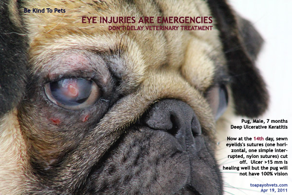 14 Days After 3rd Eyelid Flap On The 14th Day Pug Came In For Stitch Removal Leak Had Been Plugged By An Abundant Cap Of White Scar Tissue