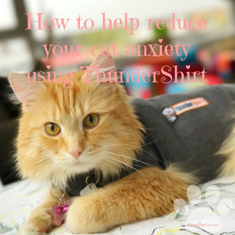 How To Help Reduce Your Cat Anxiety Using Thundershirt Sintra The Cat
