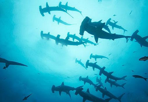 Image result for hammerhead sharks layang layang