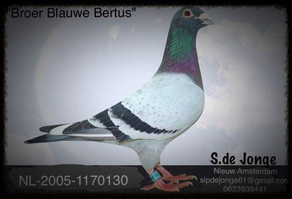 "Super kweker Is broer ""Blauwe Bertus"" Super afstamming K.C.Raymond Moleveld (Zie stamkaart)"