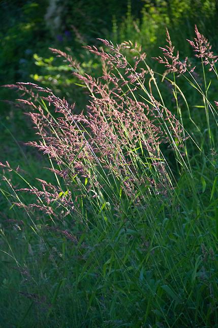 Lummi Island Grass