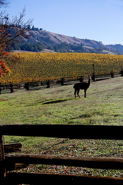 Navarro Vineyards Llama
