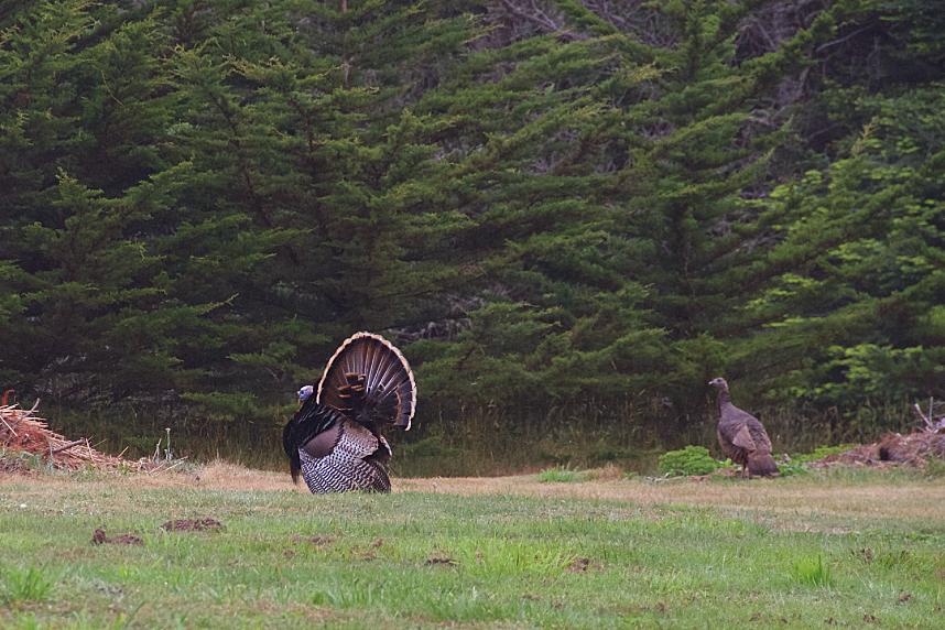 Wild Turkeys, Mendocino, CA