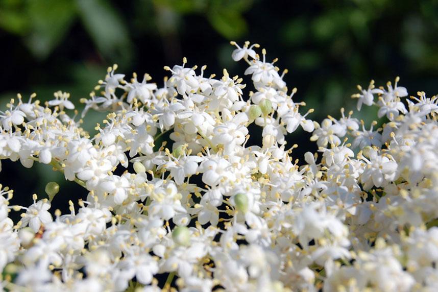 elderflower blooms