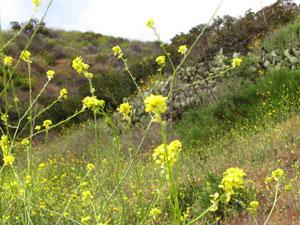 wild mustard blooms in spring