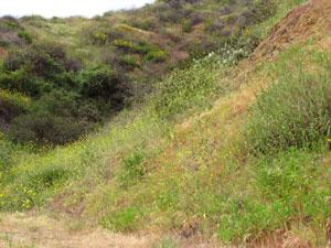 wild mustard blooms on the hillside