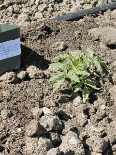 tomato seedling planted in ground