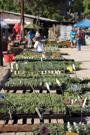tomato seedling for sale at TomatoMania