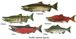 5 types of Alaskan salmon