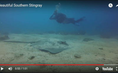 Beautiful Southern Stingray
