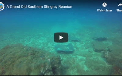 A Grand Old Southern Stingray Reunion