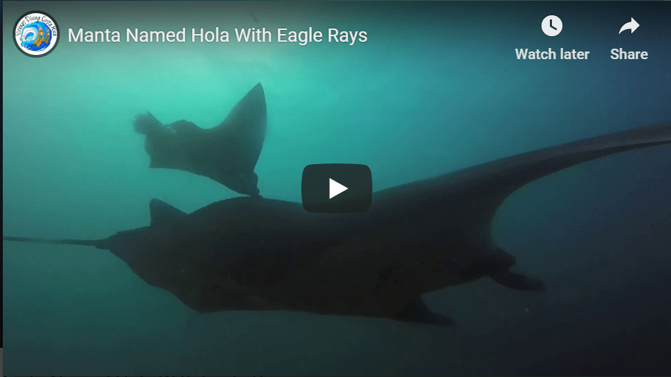 Manta Named Hola With Eagle Rays