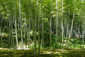 kyoto-bamboo