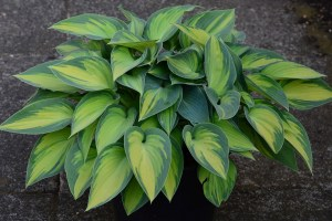 hosta bouquet