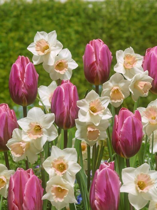 Varmista ensi kevään väriloisto puutarhassa jo nyt – Vinkit sipulikasvien syysistutukseen