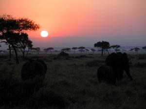 昇る太陽をバックに草を食むのはアフリカゾウ(african elephant)の(たぶん)親子。陸上最大の動物で、体高は3~4m、体重は5~6トンまでになる。主に朝夕に採食し、日中は木陰で休んでいたりする。