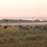 草食動物たちは、いろいろな種類が集団をつくっていることが多かった。朝靄立ち込める草原で、シマウマ(zebra)、アフリカンバッファロー(african buffalo)ご一行様の朝食。とくにシマウマはサバンナでよく見かける。