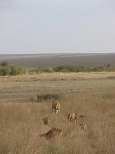 プライドと呼ばれる、雄、雌、子供含めて30頭前後までの群が形成される。プライドのテリトリーは50~400平方キロ、夜のうちにハンティングやパトロールを行い、昼間はよく寝そべっている。