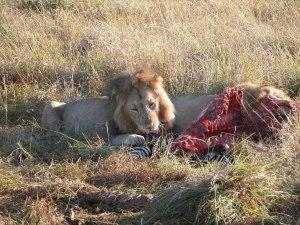 無心でシマウマに噛りつくライオン。ほのかな生臭さと、カリ、カリというかすかな音が届いてくる。