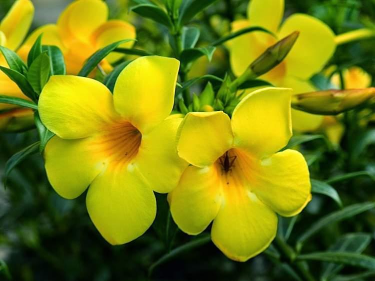 Alamanda é uma das Flores Que Suportam o Sol Forte