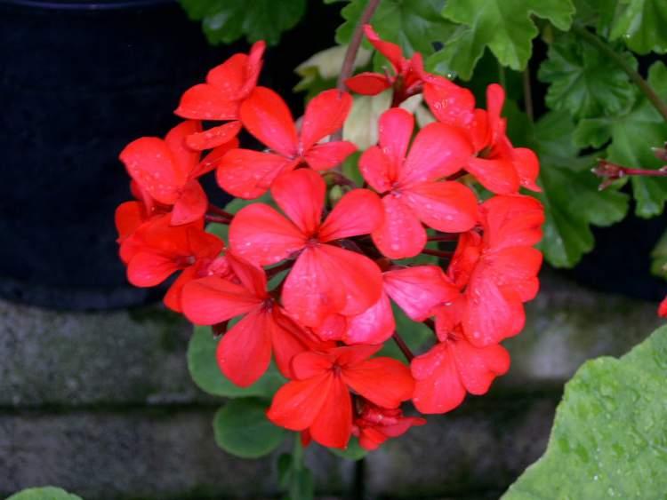 Gerânio é uma das Flores Que Suportam o Sol Forte