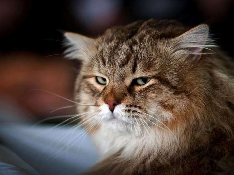 Você sabia que seu gato finge que não liga para você e que faz isso de propósito?