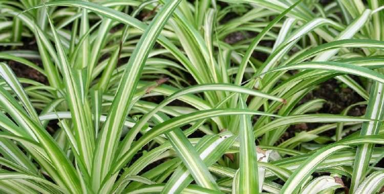 Crorofito é uma das plantas perfeitas para decorar o interior da sua casa