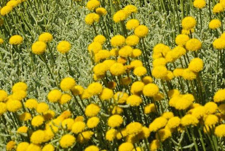 Santolina é uma das plantas que suportam o clima frio