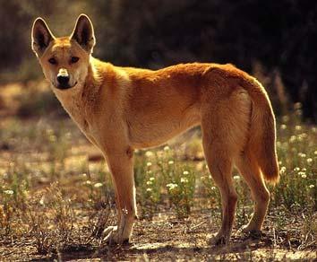 chien sauvage australien