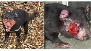demonio-tasmania2