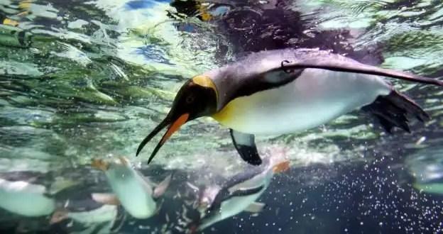Hallan restos de pingüino de dos metros de alto en la Antártida