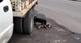 Insólito: Perro intenta 'revivir' a su amigo atropellado - Vídeo
