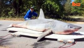 Un Tiburón de 365 kilos