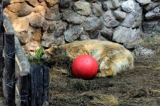 Murió el oso Arturo en el Zoológico de Mendoza