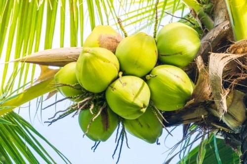 cocos-verdes-racimo_1203-196