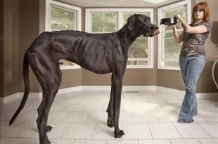 Mira al perro más alto del mundo - Fotos