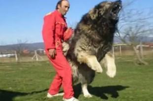 Conoce al perro más grande del mundo - Fotos
