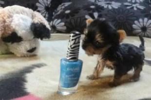 El perrito más pequeño del mundo mide lo que un esmalte de uñas - Fotos
