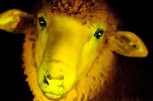 Ovejas fluorescentes que combaten enfermedades