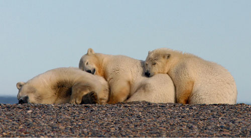 jpg Polar Bears in the Chukchi Sea Doing Well, Despite Sea Ice Loss