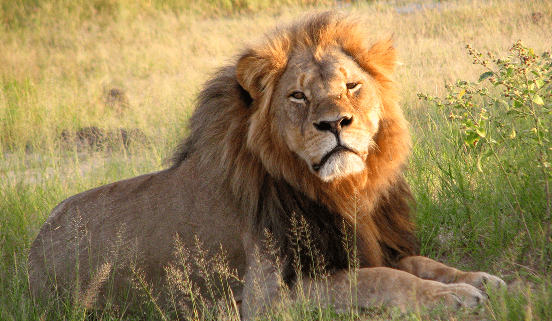 Cecil the Lion (Source: Daughter #3/Wikimedia Commons)