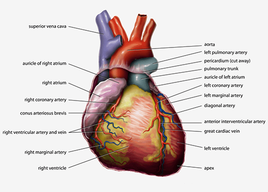 Anatomical Heart (Source: Wikimedia Commons)