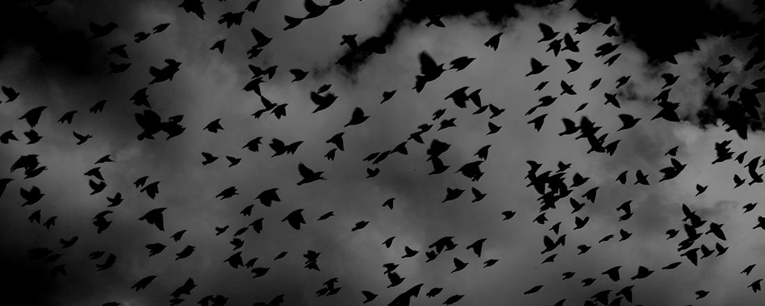 Birds in a Black Swarm