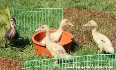Easter ducks