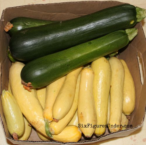 About 18 pounds of zucchini, enough to fill a dehydrator with shredded summer squash