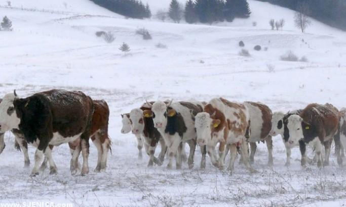 Krave na Pesteru