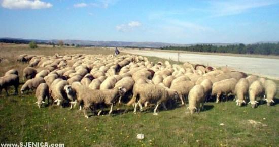 Ovce kod aerodroma Dubinje Sjenica